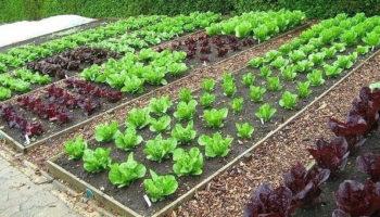 Как помогает соль, сода, дрожжи, кока-кола и другие продукты дачникам в саду и огороде